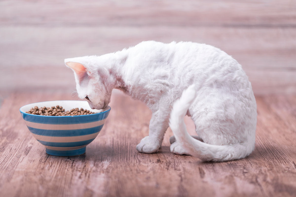 Cat eating out of a bowl