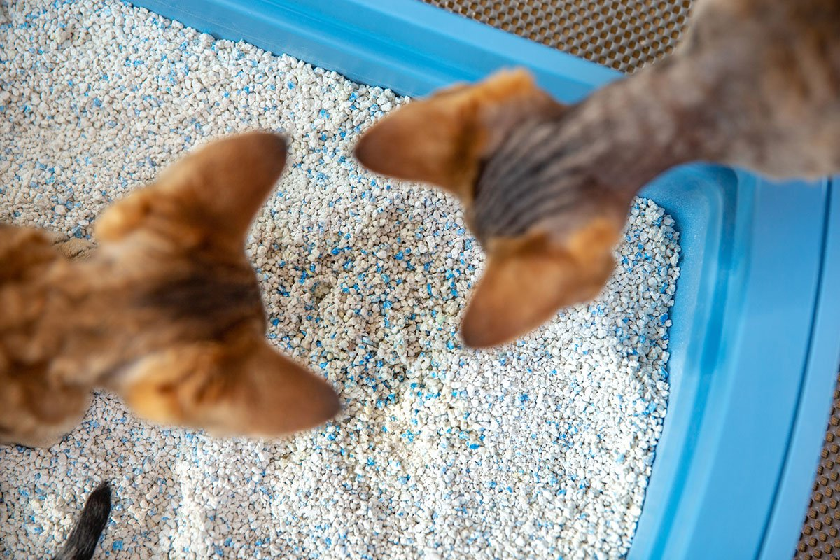Two cats looking into a litter box