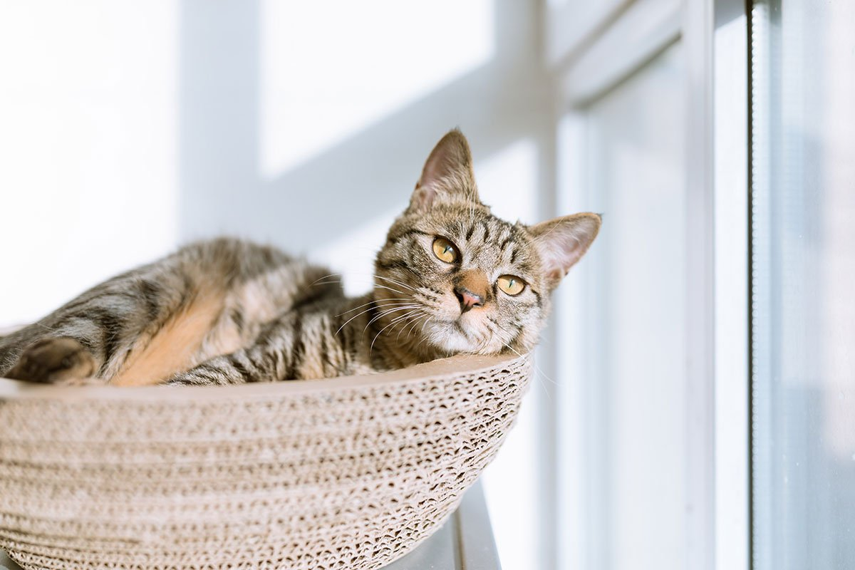 Cat daydreaming in a woven basket