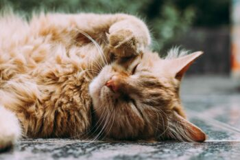 orange Persian cat sleeping