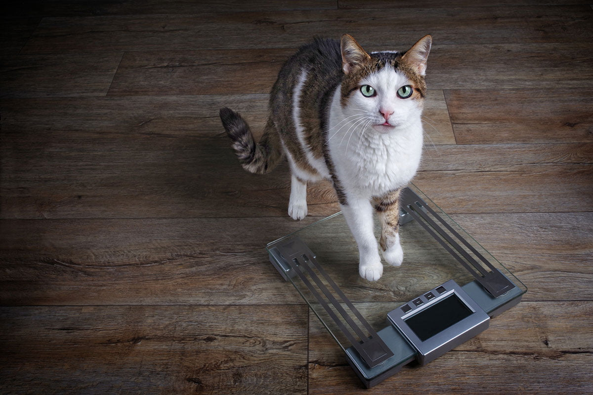 Cat on a weight scale