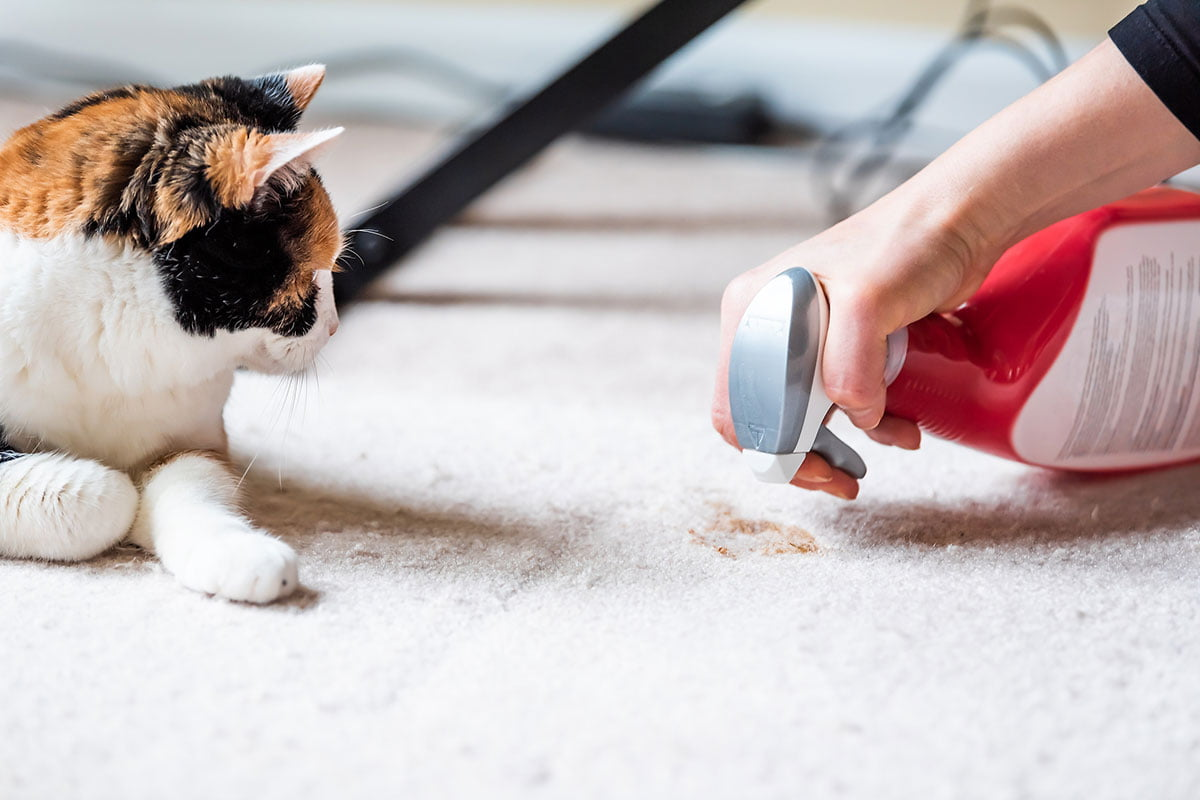 Cat with woman cleaning spot on carpet