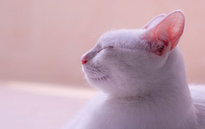 White cat with ears perking up