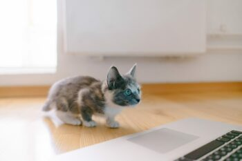 calico kitten standing in front of MacBook Pro