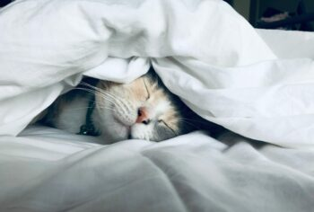 white cat sleeps under white comforter