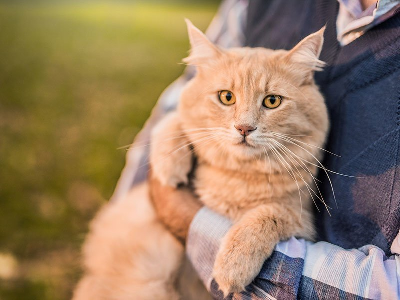 Beautiful Maine Coon cat loves being taken outdoors by his owner