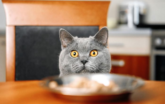 Gray cat looking from dinner table
