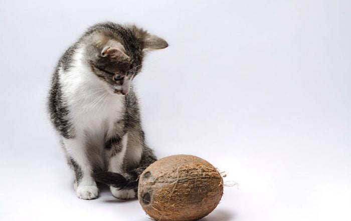 Gray kitten with coconut on a light background