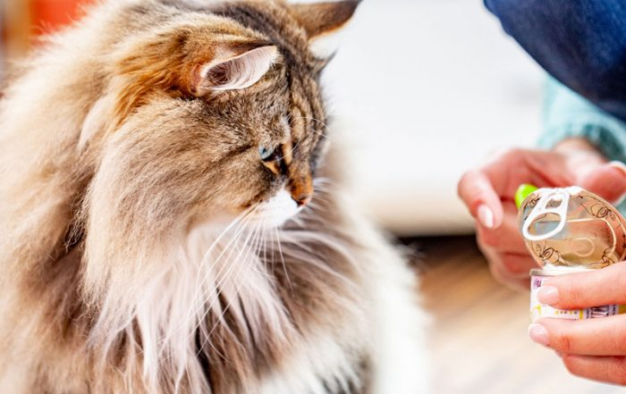Siberian Cat watching owner open can of cat food