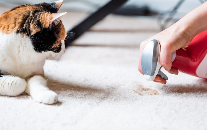 calico cat face looking at mess on carpet inside indoor house