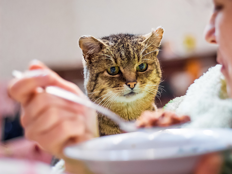 cat looks closely at the plate with food, woman dines, cat begs